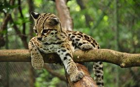 Carte d'identité - Margay (Leopardus wiedii)