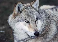 Carte d'identité - Loup gris (Canis lupus)