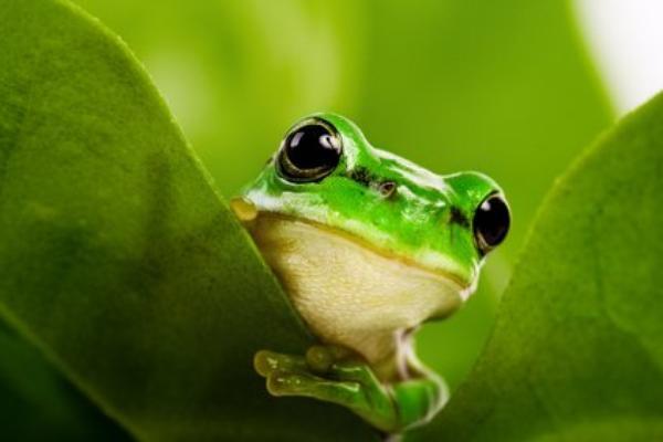 Mignonnes petites grenouilles.