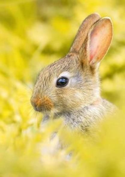 Le lapin de garenne.