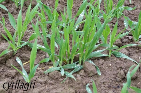 blé autonne 2011