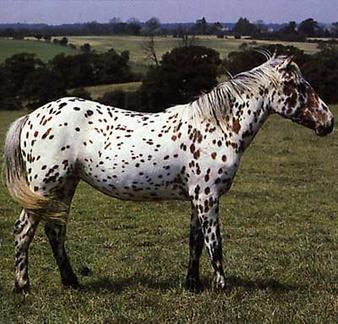 Un cheval plein de taches: l'Appaloosa