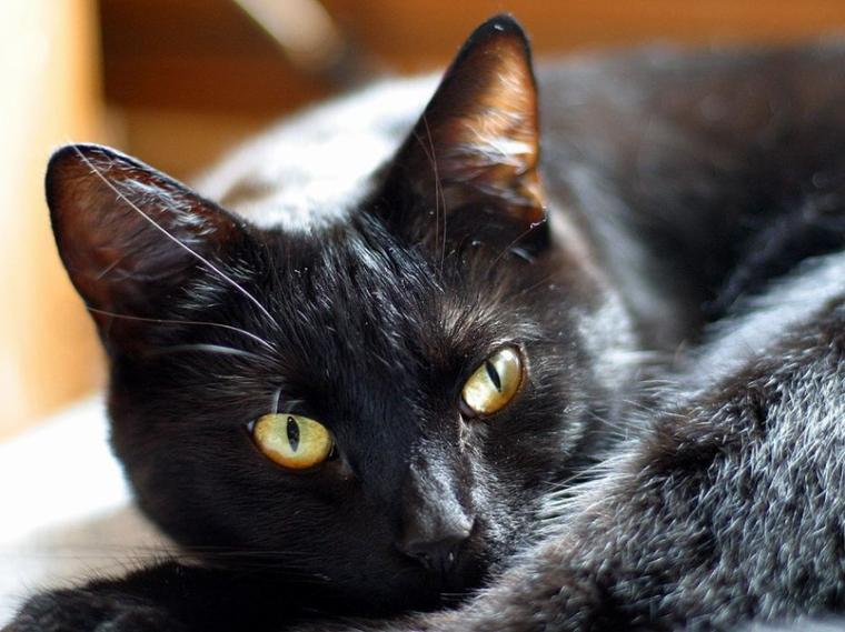 Un beau chat noir
