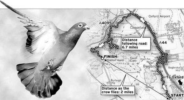 Comment naviguent les pigeons voyageurs? Ils suivent les routes