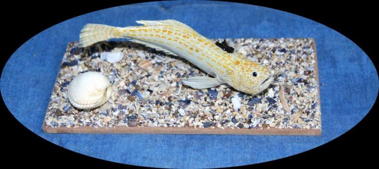 Petite vive (Echiichtys vipera) 12 cm