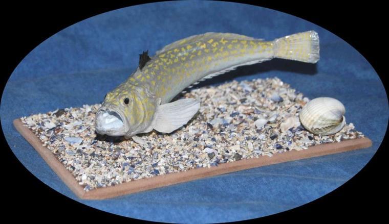 Petite vive (Echiichthys vipera) 16 cm