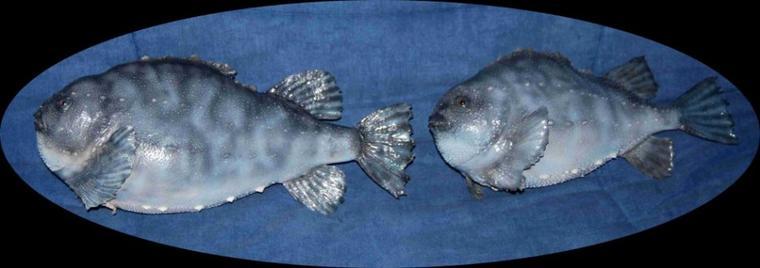lompes femelles 46 et 43 cm.