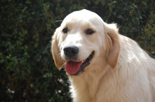 DISPARUE GOLDEN RETRIEVER CREME OCT 2013 LE ROEULX BE