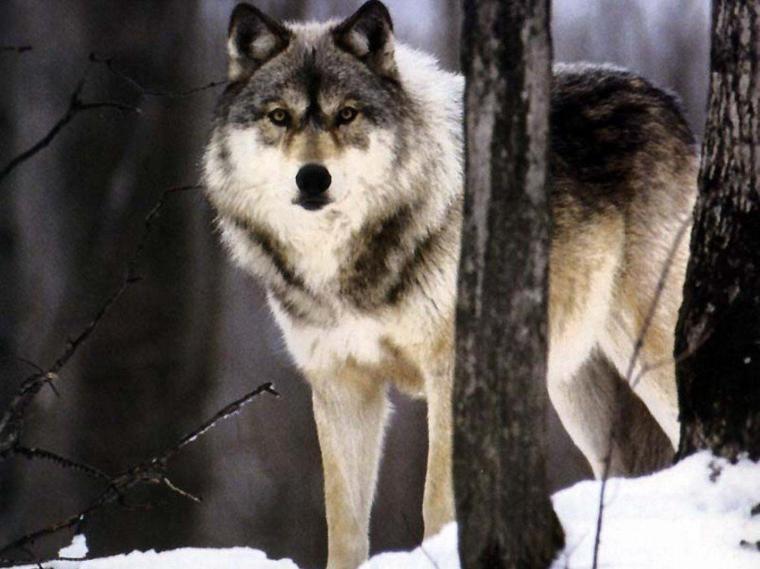 L'encêtre des chiens: Le loup