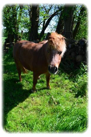 """""""Caramel: Poney shetland..."""""""