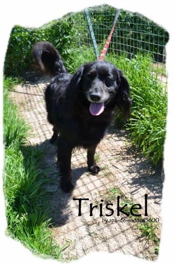 """""""Triskel: Croisé épagneul breton..."""""""