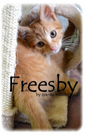 """Freesby: Chat européen roux .. """