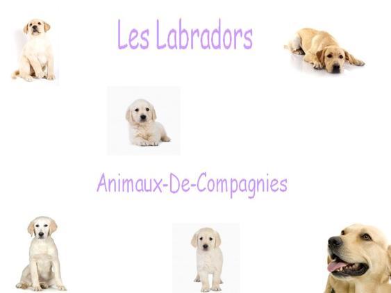 Commençons Par Les Labradors !