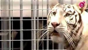 Législation sur les animaux dans les cirques : Marquis Pauwels se bat comme un lion !