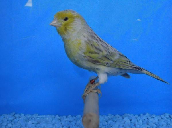 agata pastel amarelo mosaico macho