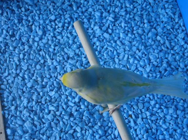 fotos de alguns dos meus canarios