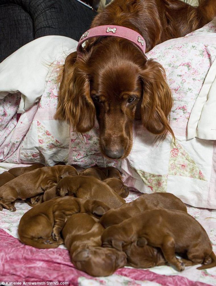 Le Vétérinaire Lui Dit Qu'elle Aura Entre 8 Et 10 Chiots. Cependant, L'animal Avait D'autres Projets Pour Sa Propriétaire.