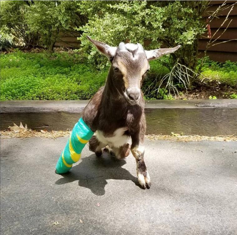 Cette femme sauve les petites chèvres et leur donne une deuxième chance !