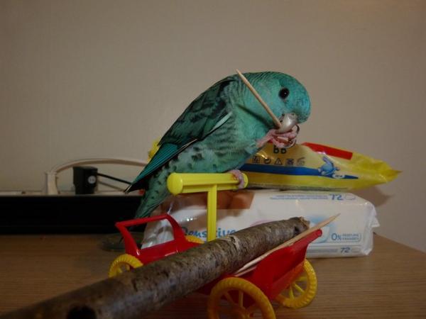 voici le petit BANDIT  perruche catherine dans ses aventures