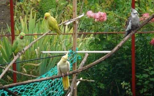 Oiseaux (Perruche à collier et Calopsitte)