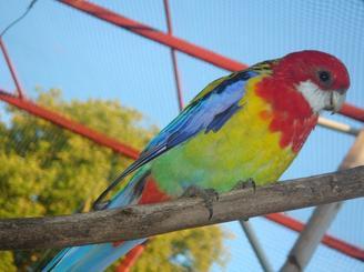 Quelques photos des oiseaux pour le plaisir ... (Barraband , omnicolore , croupion rouge , perruche à collier)