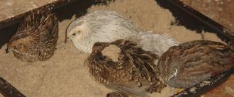 Les cailles de chine prennent un bain de sable