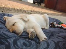 """Voici notre petite merveille , Hina une femelle labrador qui a tout juste 8 semaines et qui vient juste d'arriver à la maison :) """"elle est né le Dimanche 29 Janvier 2012"""""""