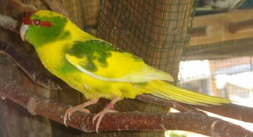 Grand ZOOM sur mon nouveau kakariki , un superbe mâle panaché