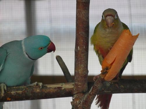 """♥ Paulie & Rubis        ♥           """"en balade dans la volière extérieur"""""""