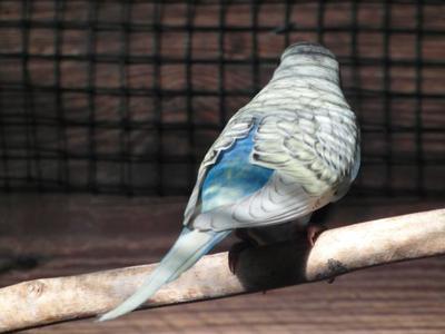 Les perruches ondulée de l'année