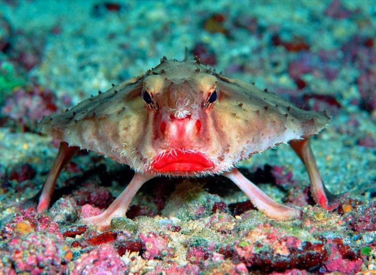 le poisson chauve souris