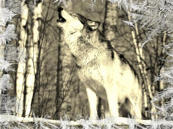 Loup hurlant a la lune c'est beau *o*