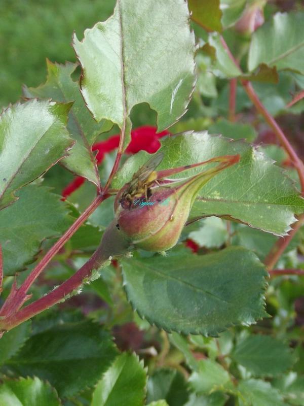Une mouche sur le bouton de rose