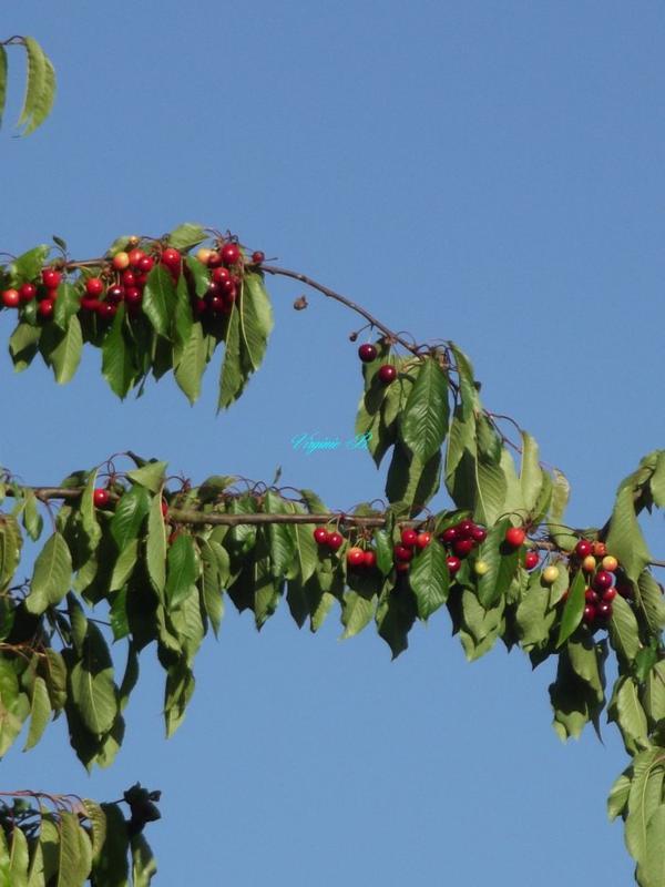 Une Branche de Cerisier