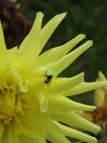 Une Mouche sur un Dahlia jaune