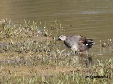Canards en plumages nuptiaux ...
