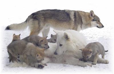 #5 Biographie du Loup.