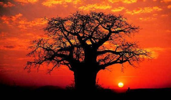 baobab  d baol