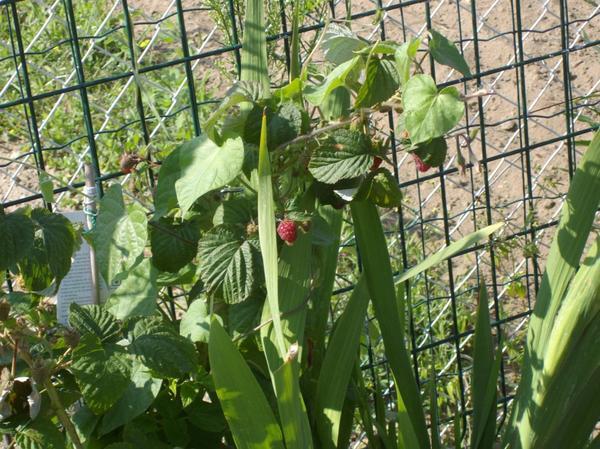 Framboises et les fraises