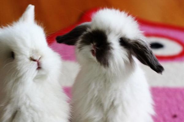 6) 10 raisons pour avoir ou ne pas avoir un lapin nain