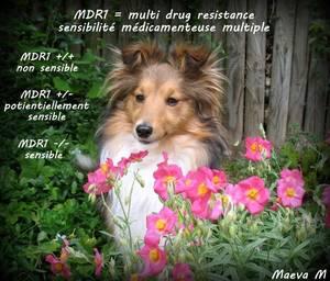 MDR1 sensibilité médicamenteuse multiple