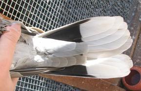 Comment différencier la tourterelle turque de la tourterelle rieuse de type sauvage