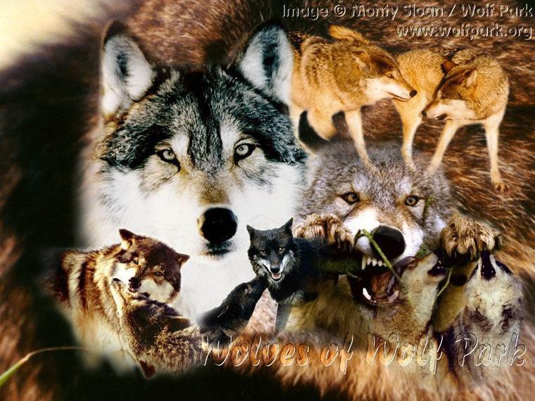 connaissez vous le point commun a toutes ces especes de loups ? j'attends vos suggestions  Un bon dimanche à tous