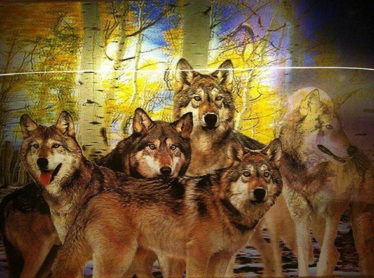 pourquoi cette haine sur le loup ils vous a rien demandé lui