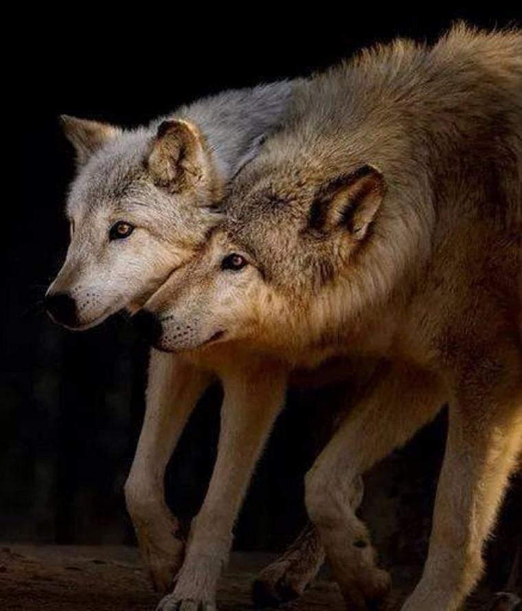 parlons un peu de la hyene animal rejetée tout aussi bien que le loup