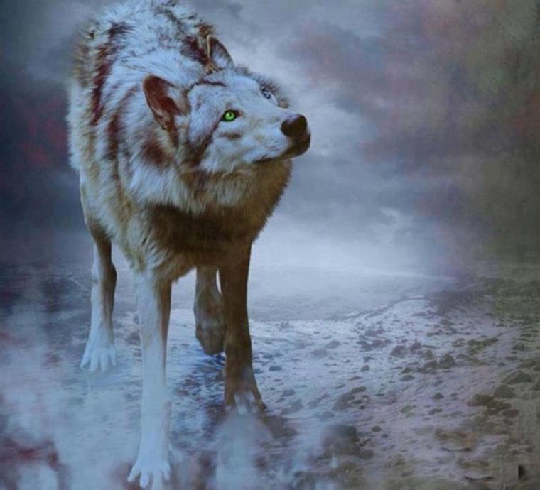 comportement de méfiance du loup envers l'homme  et biodiversité