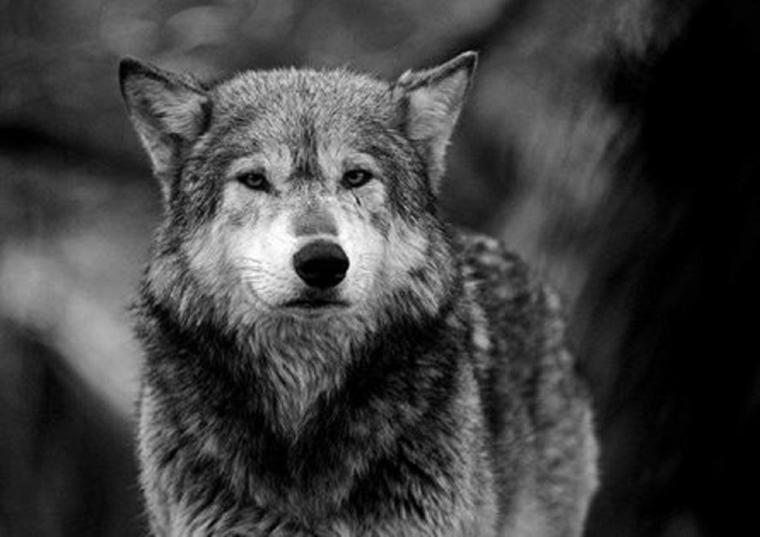 Pourquoi les loups n'attaquent pas l'homme ???  pourquoi le loup se méfie de l'homme ??? IL A BIEN RAISON d'ailleurs de s'en méfier le plus cruel des deux est bien l'homme !!!!!!!!!!!!!!!!!!!!! un loup te fixera dans les yeux un humain  jamais  rare de trouver la personne qui en a le cran  donc méfiance !!!!!!!!!!!!