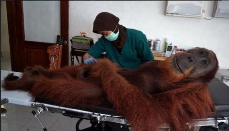 vous allez encore donner du nutella à vos enfants ou en manger vous même après ça !!!  :'(  INTERDISONS LA VENTE DE CETTE POURRITURE D'HUILE DE PALME !!!!  Indonésie : un orang-outan meurt criblé de plus de 40 balles