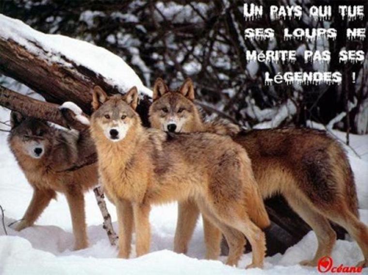 Le loup, l'homme et le chien, vivre ensemble sur Terre  :  partie 2  Le loup : son mode de vie