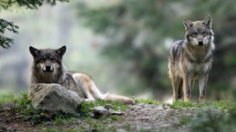 ours bruns et loups même destinée  au plus j'avance dans mes recherches au plus je constate que ce n'est nullement l'animal le prédateur mais bien et théoriquement et scientifiquement l'humain !!!